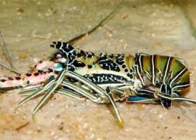 Budidaya Lobster Laut Di Kolam
