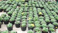 Energi Positif Kaktus