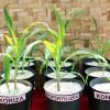 Manfaat Mikroriza & Biofertilizer