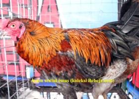 5 Varian Ayam Sentul Asli Ciamis
