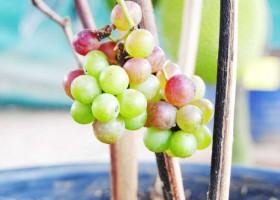 Petik Anggur Di Pot