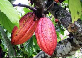8 Langkah Remajakan Pohon Kakao