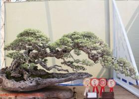 Bonsai & Suiseki Exhibition 2014 (1)