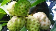 Mengkudu Plus Jahe Pelenyap Tuberkulosis