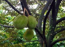 Ada Durian D 101 Di Kecamatan Rumpin