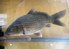 Bebeja Indoaqua 2015 (3): Ikan Mas Mantap