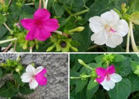 Mutasi Bunga Pukul Empat