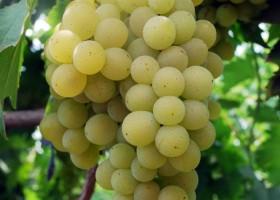Anggur Unggul Balitjestro