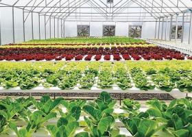 Kebun Organik Dan Hidroponik Kamboja