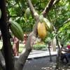 Ada Kampung Cokelat di Blitar