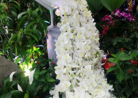 Merak Berekor Anggrek Phalaenopsis