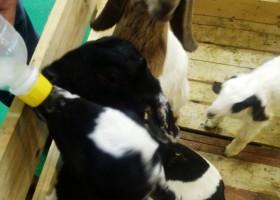Susu Pengganti Anak Kambing