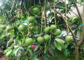 Mangga Apel Rajin Buah