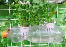 Seledri Hidroponik Di Botol
