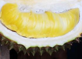 Berkebun Durian Musangking