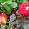 Mawar Berbunga Dengan Air Kelapa Tua