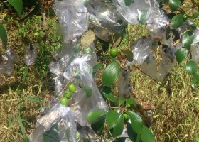 Bungkus Plastik Buah Putsa