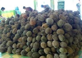 Ini Ucok Durian Bung!