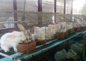 Kelinci Tambun Di BPTP Jakarta