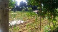 Berkebun Talas Di Bogor