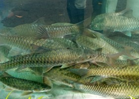 Janji Untung Budidaya Ikan Dewa
