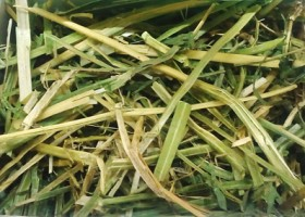 Kisah Pakan Alfalfa