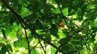 Konservasi Pohon Gayam