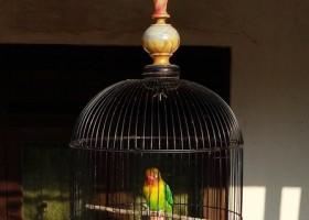 Waktu Master Lovebird