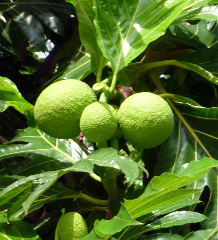 khasiat daun sukun