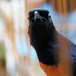 4 Jurus Awet Muda Burung Kicauan