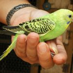Ayo Bikin Burung Parkit Bertelur!