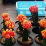 Cegah Kaktus Mati