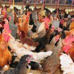 Ayam Kampung Jadi Kecil