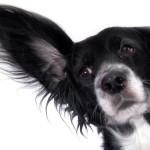 Bawang Putih Usir Kutu Anjing