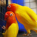 6 Kiat Tebak Kelamin Lovebird