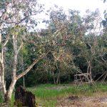 Remajakan Pohon Tua Pakai Stump Grafting