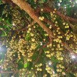 Sukses Cangkok Pohon Duku