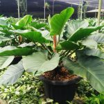 Sukses Setek Philodendron