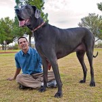 Anjing Raksasa Setinggi 1 Meter