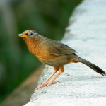 Burung Kicauan: Hwa Mei dan Poksai