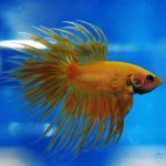 Pamor Cupang Crowntail