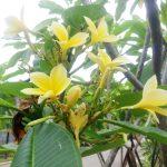 Aneka Manfaat Pohon Kamboja