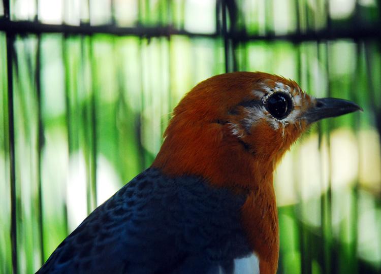 burung-kicauan2