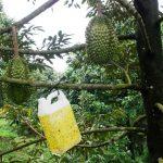 Pacu Durian Berbunga