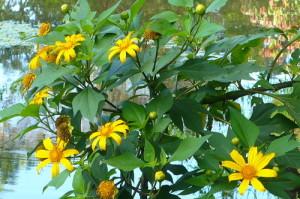 Tithonia-diversifolia