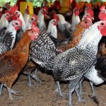 Ayam Arab: Ayam Petelur Unggul