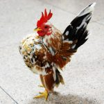 Si Mungil Ayam Serama