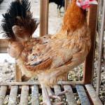 Selamat Datang Ayam Elba (Arab Baru)