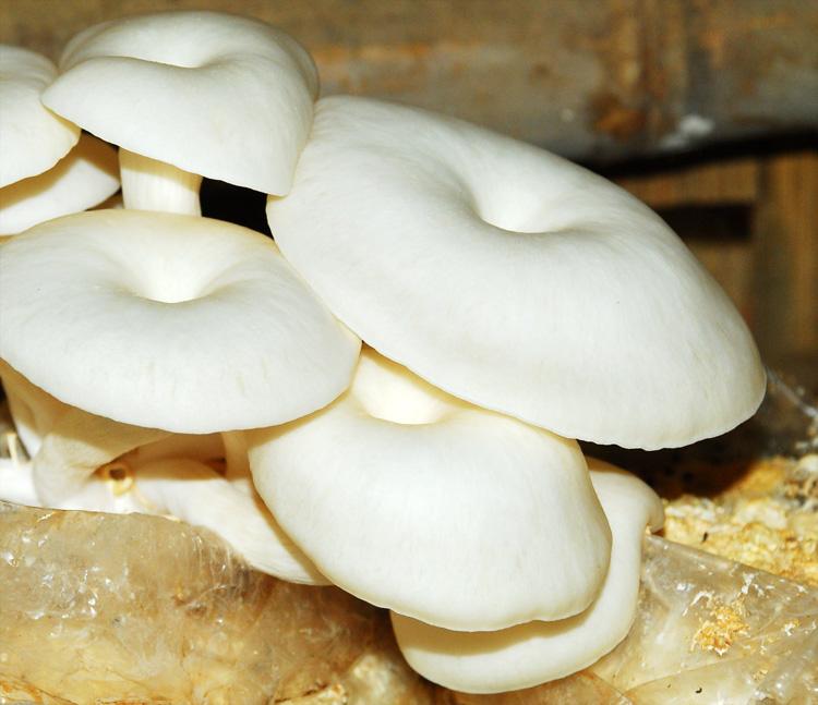 Hasil gambar untuk jamur tiram