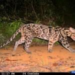 Macan Baru Dari Kalimantan